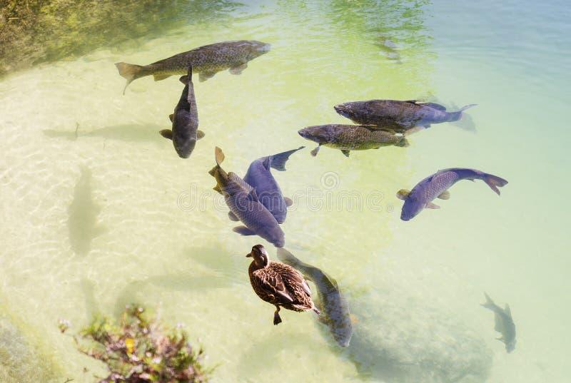 Большой карп плавая в озеро и утку стоковое фото
