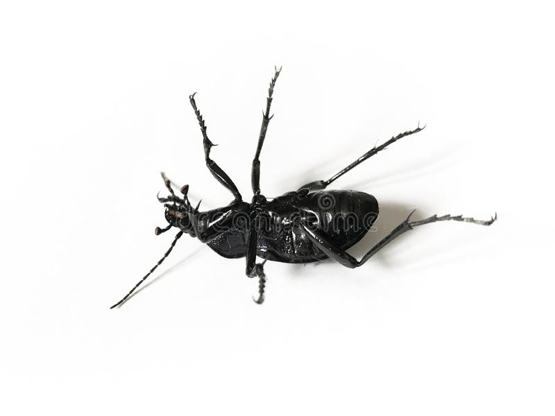 Большой черный и фиолетовый жук изолированный на белой предпосылке стоковое фото rf