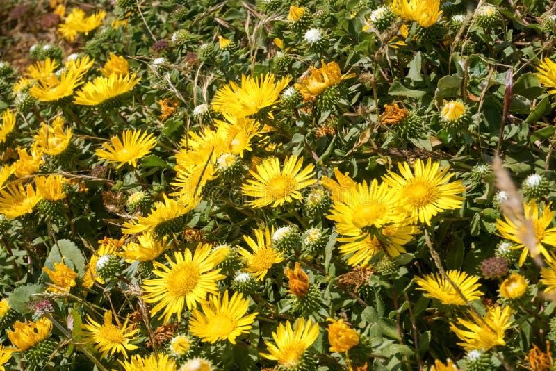 Большой Gumweed долины, большое camporum Grindelia Gumplant долины, цвести Grindelia robusta, Калифорния стоковые фотографии rf