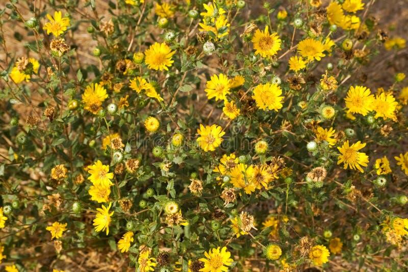 Большой Gumweed долины, большое camporum Grindelia Gumplant долины, цвести Grindelia robusta, Калифорния стоковые изображения rf
