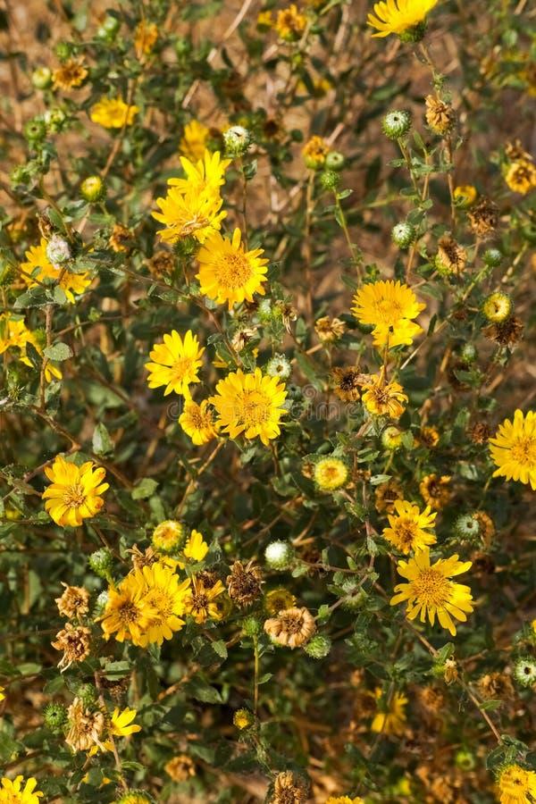 Большой Gumweed долины, большое camporum Grindelia Gumplant долины, цвести Grindelia robusta, Калифорния стоковое фото rf