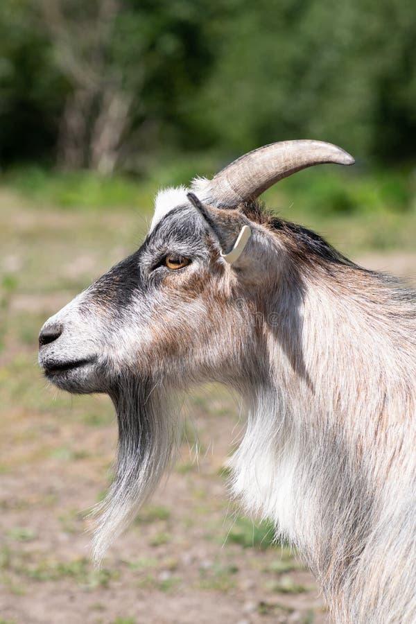 Бортовой портрет мужской козы с длинной бородой goatee стоковое изображение