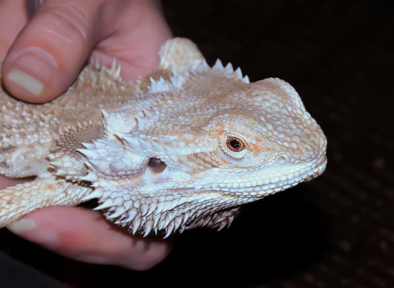 Бородатый дракон в руке стоковая фотография