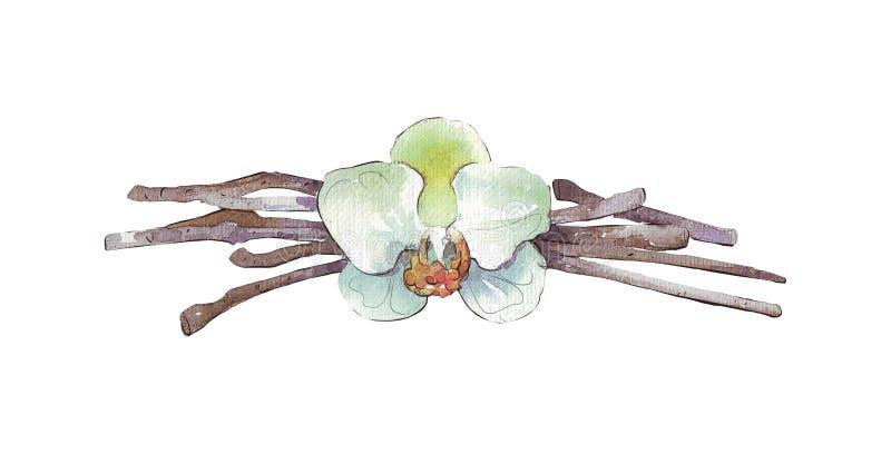 Ванильные изолированные стручки и цветок бесплатная иллюстрация