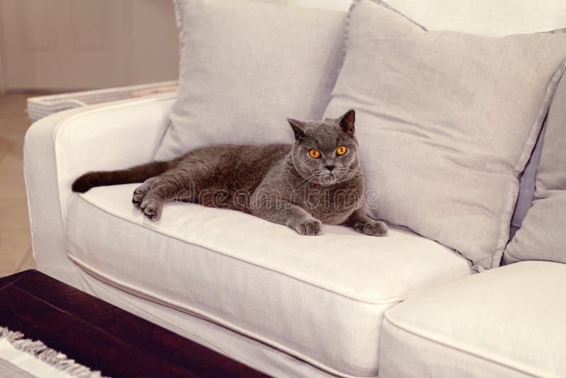 Великобританский кот коротких волос Lounging на софе стоковые фотографии rf