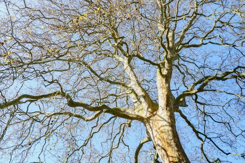Весна будя, взгляд до съемки старого дерева верхней снизу, небольшие свежие зеленые листья на ветвях стоковое изображение rf