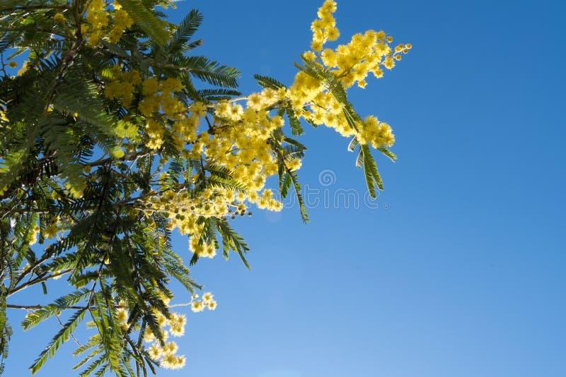 Весна мимозы цветет предпосылка пасхи Зацветая дерево мимозы над голубым небом Желтый дизайн искусства границы цветка с солнцем стоковое изображение rf