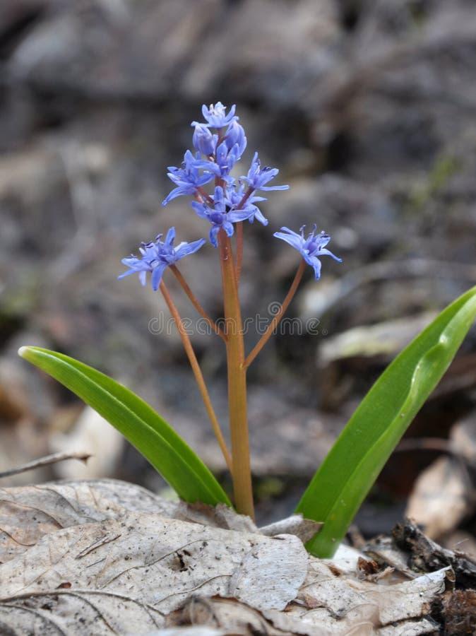 Весна цветя bifolia Scilla стоковые фотографии rf