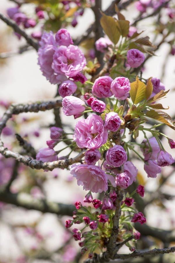 Ветви дерева Сакуры вишни serrulata сливы японские в цветени, орнаментальное цветя дерево с пинком цветут бутоны nad стоковые изображения