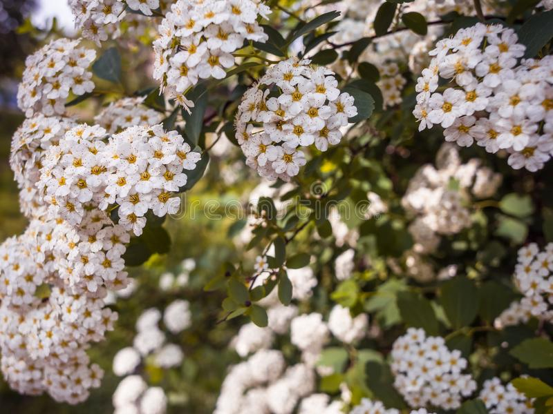 Ветви с spiraea reeve белых цветков стоковые фото