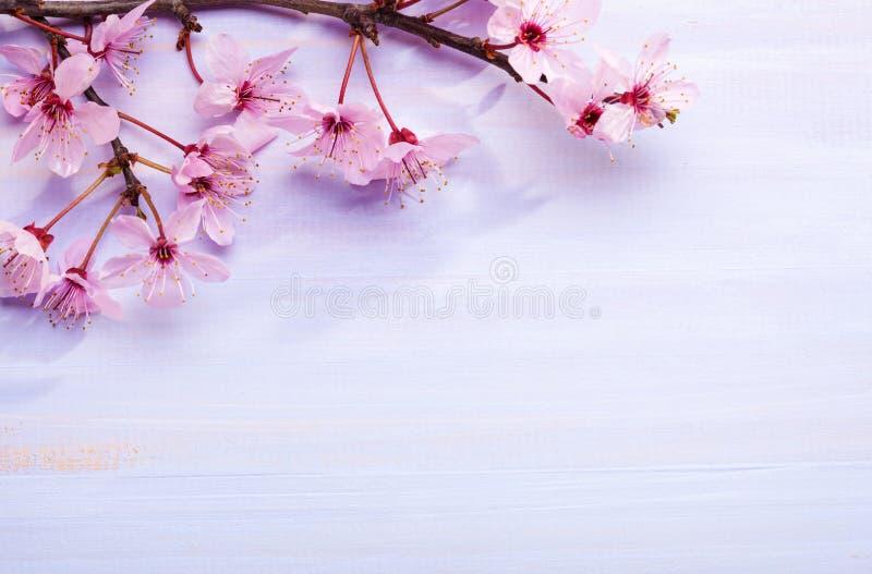 Ветви розовых слив цветения против доски светлой сирени деревянной стоковая фотография rf