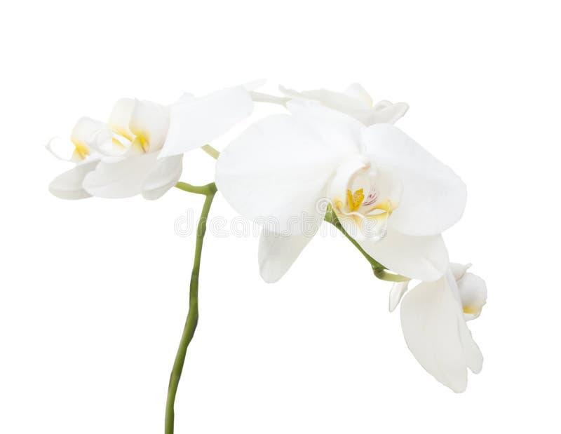 Ветвь белой орхидеи стоковое изображение rf