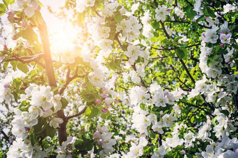 Ветвь зацветая яблока весной естественное предпосылки красивейшее испускает лучи желтый цвет солнца ярких лучей красный стоковое фото rf