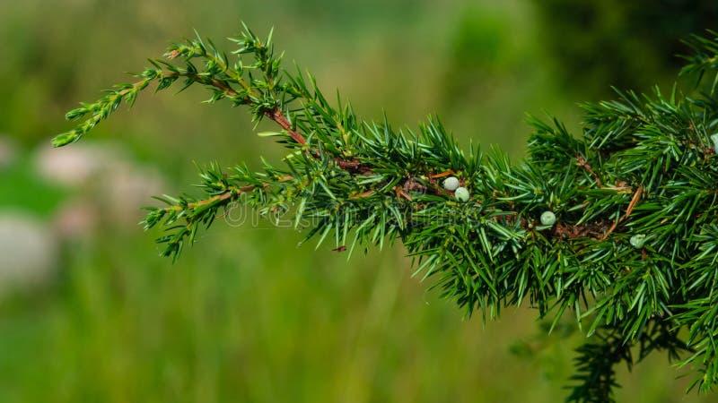 Ветвь можжевельника с зелеными riping конус-ягодами против предпосылки bokeh, выборочного фокуса, мелкого DOF стоковые изображения rf