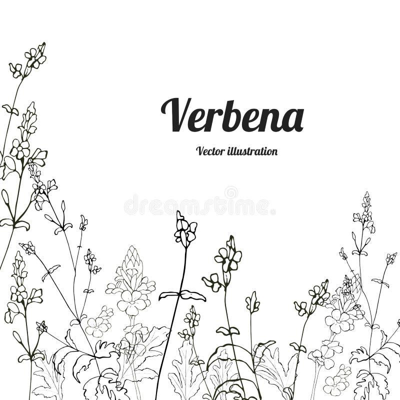 Вербена 3 шаблона бесплатная иллюстрация