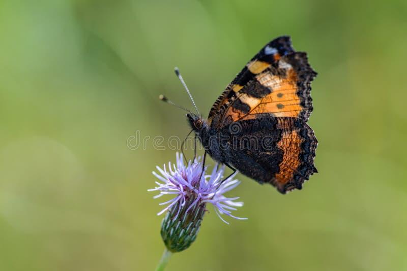 Взгляд крупного плана небольшой бабочки tortoiseshell на розовом thistle стоковые фотографии rf