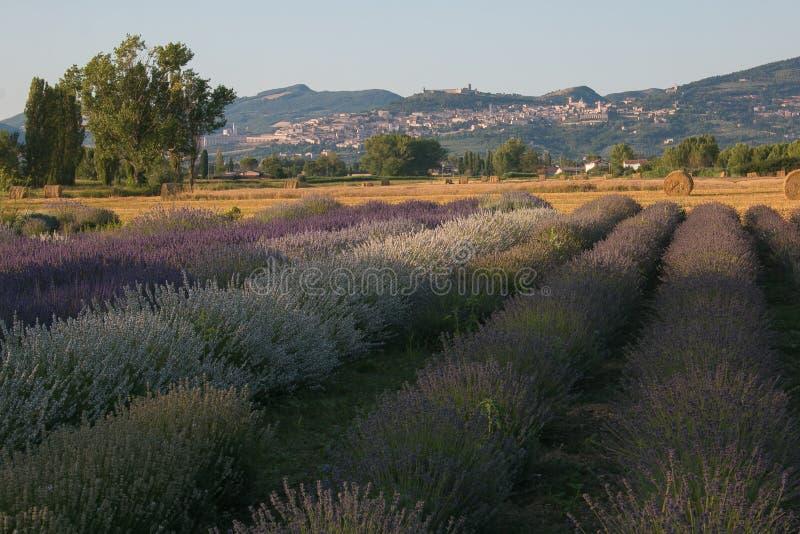 Взгляд лета поля лаванды около Assisi, Умбрии стоковые изображения