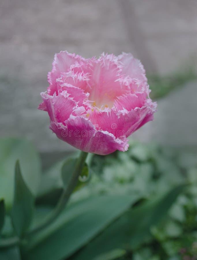 Взгляд розового crispa тюльпана новый стоковые фотографии rf