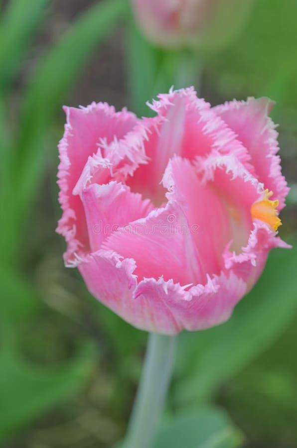 Взгляд розового crispa тюльпана новый стоковое изображение rf