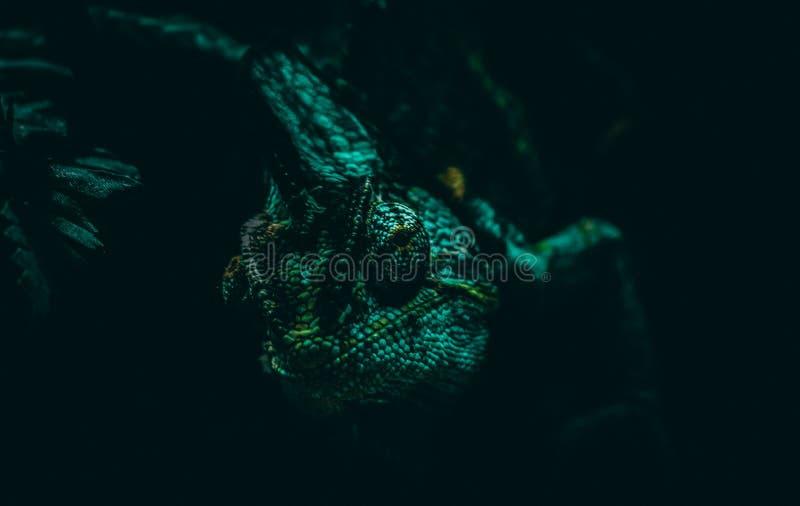 Визуальный контакт с хамелеоном стоковая фотография rf
