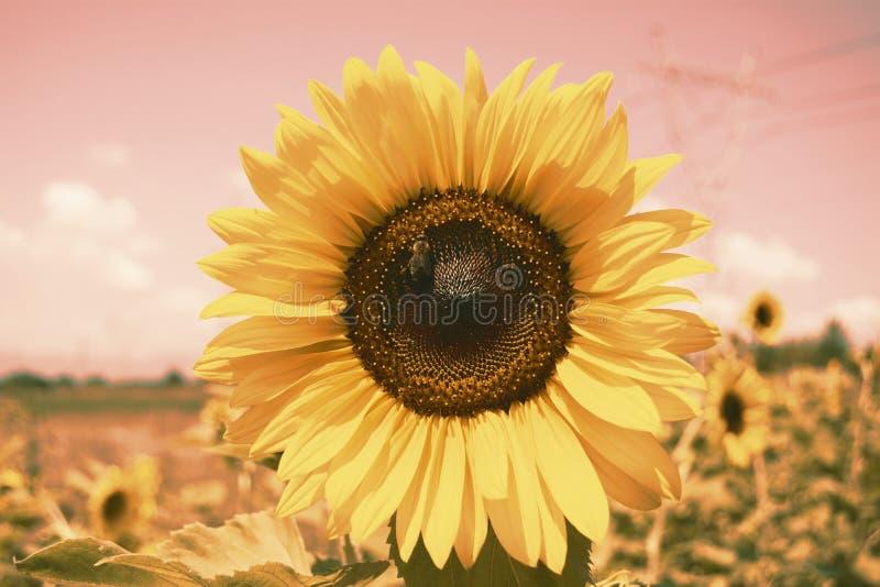 Винтажные солнцецветы текстура и предпосылка для дизайнеров Предпосылка поля солнцецветов в винтажном стиле Взгляд макроса солнце стоковая фотография rf