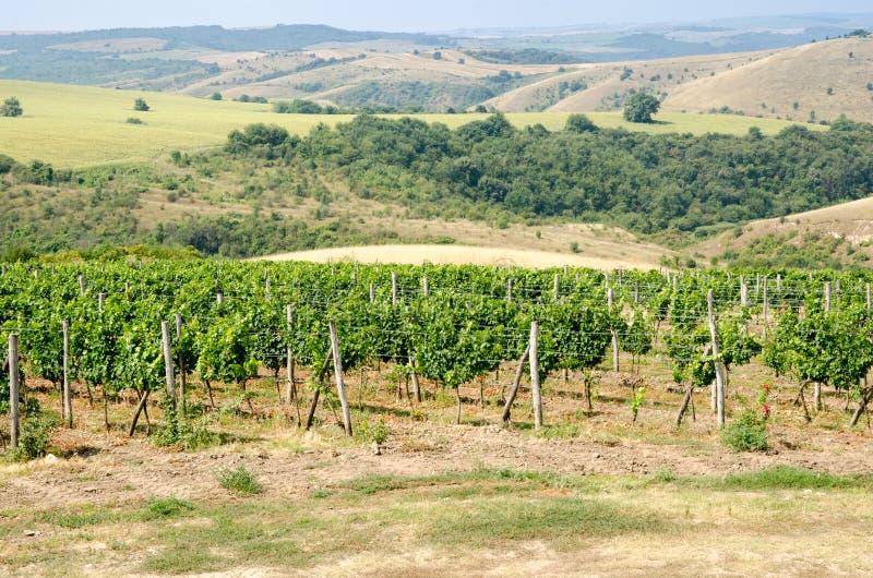 Виноградники вдоль Дуная в северной восточной Болгарии стоковое фото