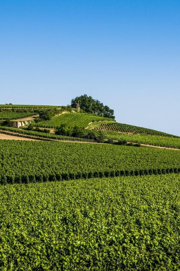 Виноградники, St Emilion, область Бордо, Франция стоковое изображение rf