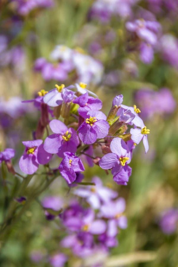 Впечатляющее цветене полевого цветка acris Diplotaxis в семье крестоцветного,  в пустыне Негев, южный Израиль Время весны… подня стоковое фото