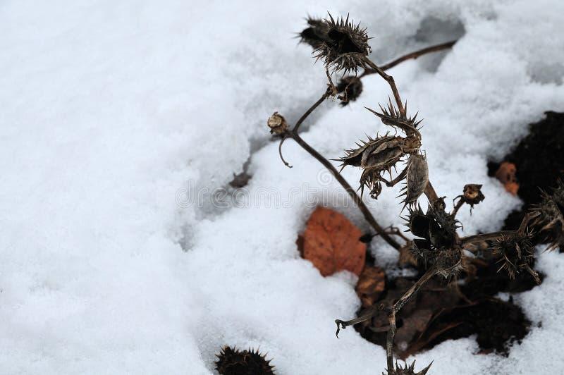Вянуть засоритель jimson в снежном саде стоковое фото