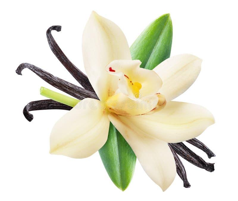 Высушенные ванильные ручки и цветок орхидеи ванильный Архив содержит путь клиппирования стоковое фото rf
