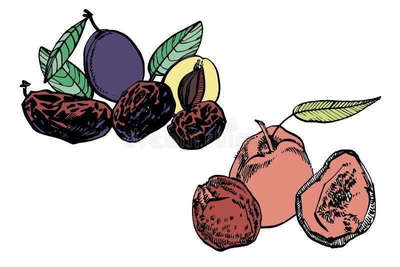 Высушенные персики и черносливы, сливы вручают вычерченную иллюстрацию Эскиз чернил гаек иллюстратор иллюстрации руки чертежа угл иллюстрация вектора