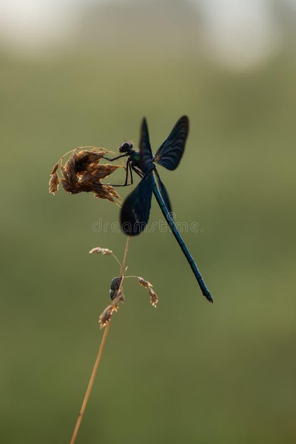 В раннем утре, virgo Calopteryx сушит свои крылья от росы под первыми лучами солнца перед летанием стоковое фото rf