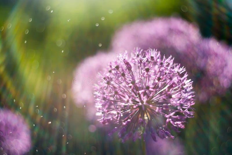 волшебная абстрактная предпосылка природы с макросом цветка alium сфокусируйте мягко Световой эффект радуги стоковые изображения rf