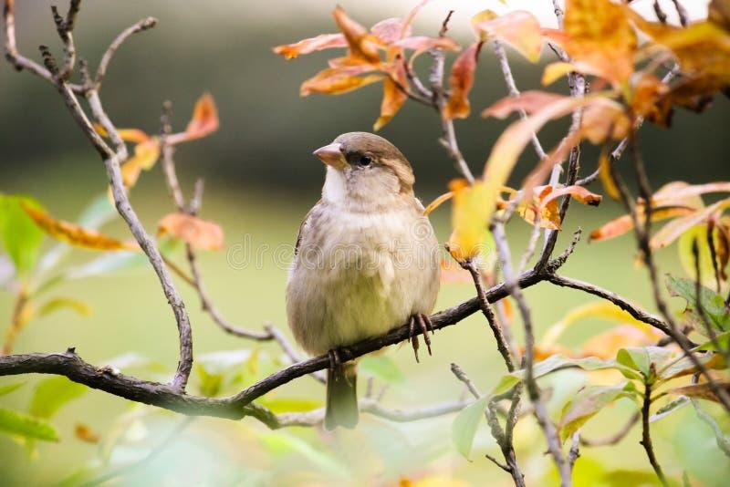 Воробей сидя на ветви дерева Воробьиные семьи птицы воробья сидя и поя на ветви дерева стоковые фото