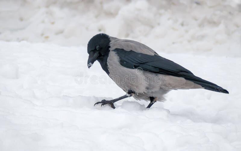 Ворона серого цвета с капюшоном сидит на трудном снеге в зиме стоковое фото