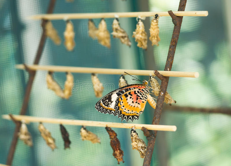 Ð'utterfly hatching out from cocoon. Ð'utterfly Cethosia Biblis hatching out from cocoon royalty free stock images