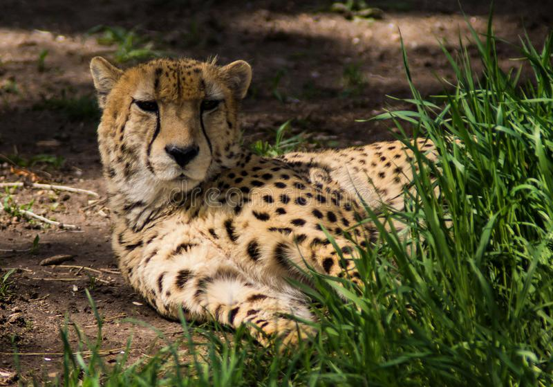 Гепард отдыхая на земле стоковое изображение rf