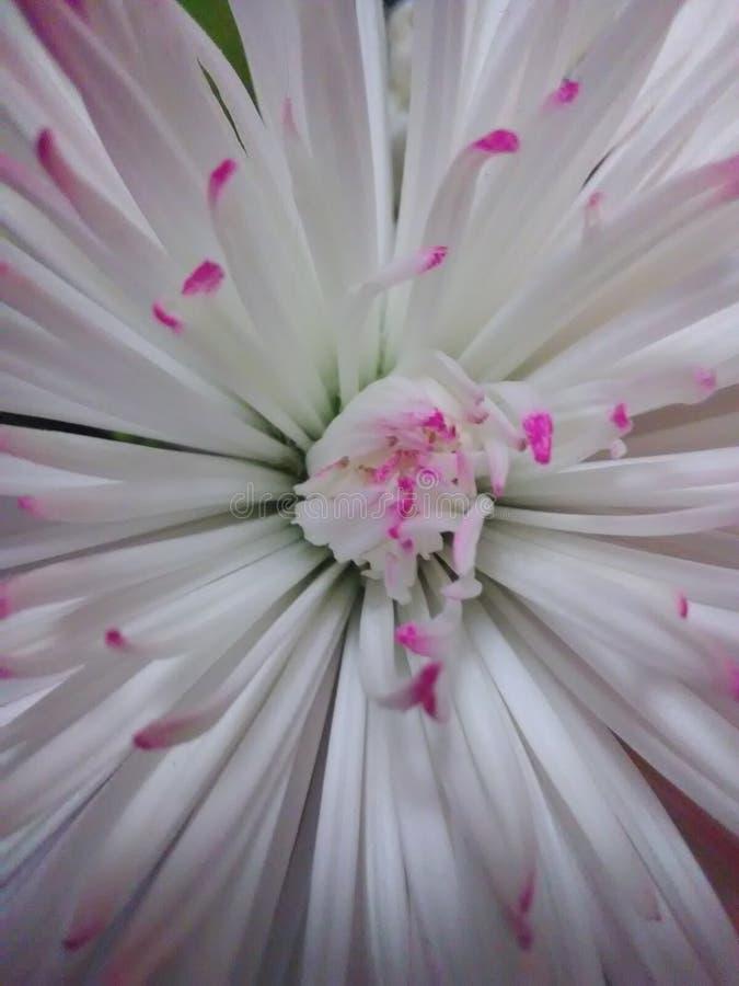 Георгин Полу-кактуса стоковая фотография rf