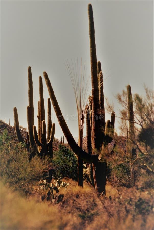 Гигантский кактус Saguaro около Tucson, Аризоны, США стоковое фото rf