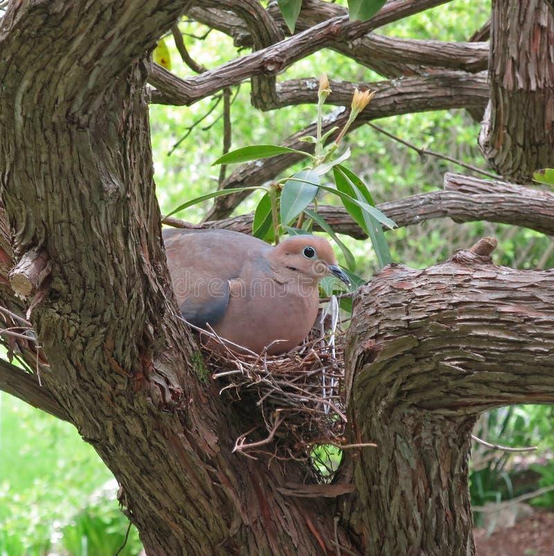 гнездй dove оплакивая стоковая фотография