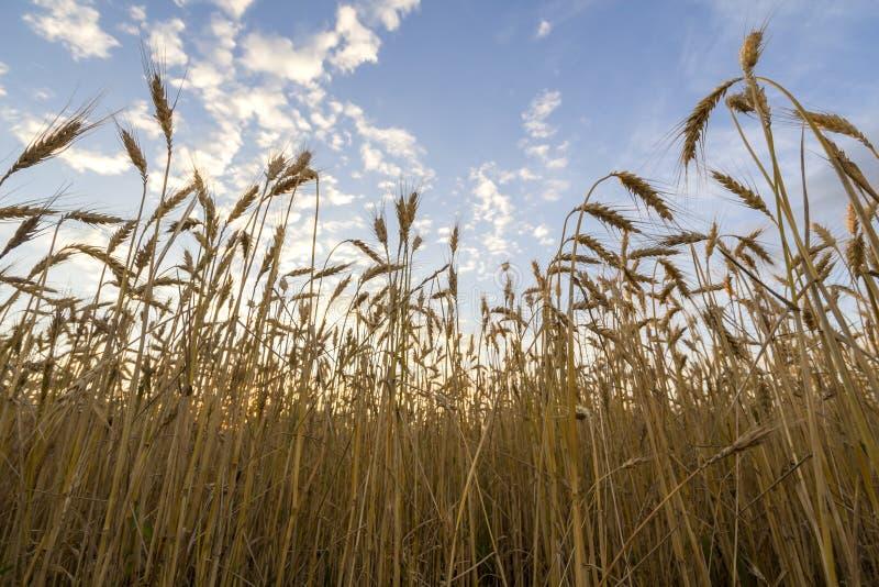 Грейте покрашенное золотое зрелое для сбора пшеничного поля Земледелие, сельское хозяйство и богатая концепция сбора стоковые фотографии rf