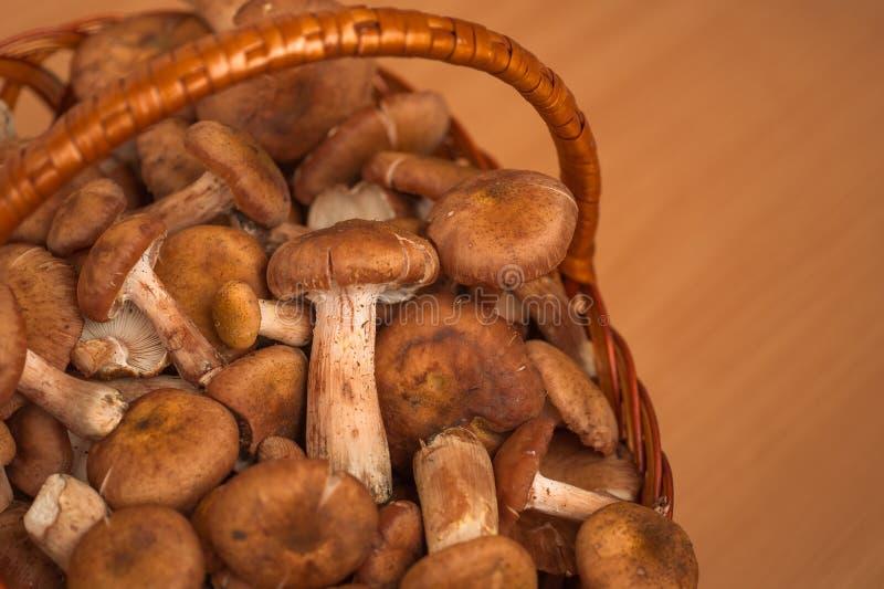 Грибы Пластинчатый гриб меда стоковые фото