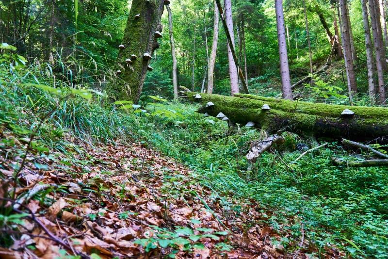 Грибок растя на дереве в древесине стоковые фото