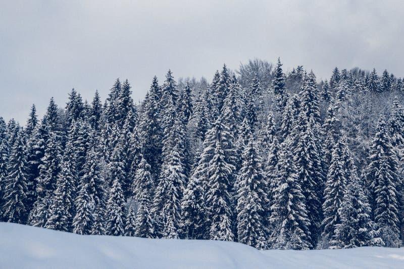 Группа в составе ели покрытые снегом покрытый Снег лес в горах стоковое изображение rf