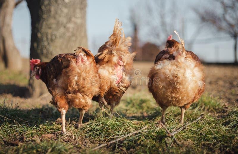 Группа в составе курицы питаясь на дворе амбара на заходе солнца Курицы Брауна ища еда во дворе фермы Цыплята стоя и идя на зелен стоковое изображение rf