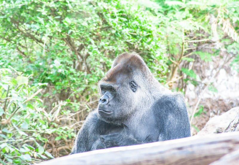 Грустная горилла сидит здесь и ждущ вас стоковые фото
