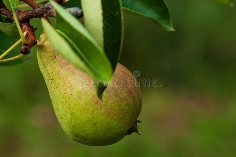 Груша на дереве в саде плода стоковые фото