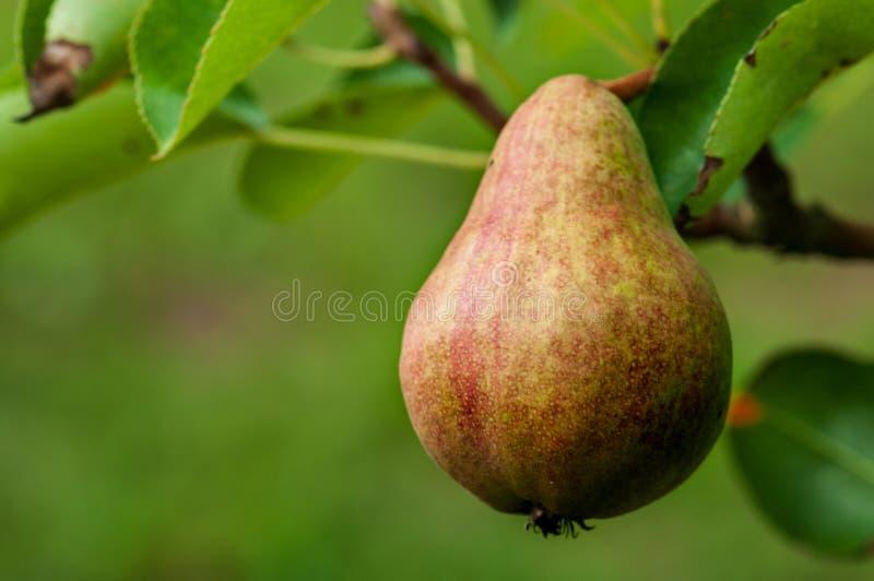 Груша на дереве в саде плода стоковые фотографии rf