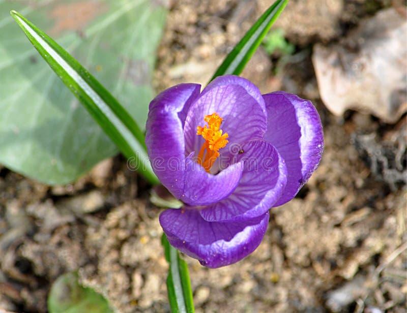 Голубая весна цветет крокус стоковые фотографии rf