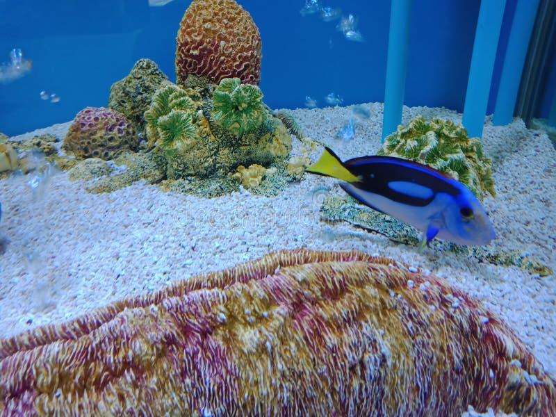 Голубая тянь, тянь гиппопотама, тянь палитры, царственная тянь, Surgeonfish Flagtail, Тихое океан Bluetang стоковое фото